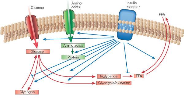 insulin paths