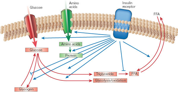 insulin paths