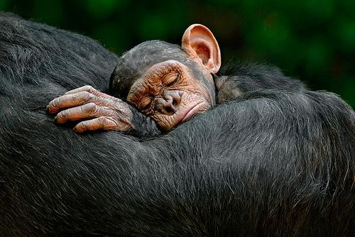 Sleep_chimp_2